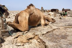 Верблюд среди горнорабочих соли в депрессии Danakil, Эфиопия спать Стоковые Изображения RF