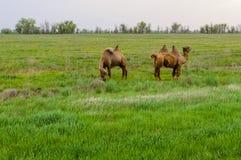 Верблюд стоя в траве Стоковые Изображения