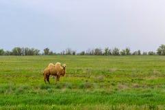 Верблюд стоя в траве Стоковое Изображение RF