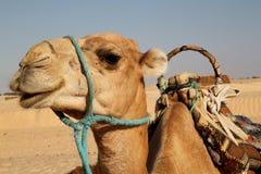 верблюд Стоковое Изображение RF