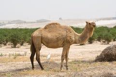 верблюд Стоковое Изображение