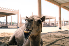 Верблюд Стоковая Фотография