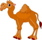 верблюд Стоковые Изображения RF