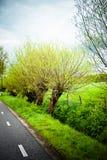 вербы рядка Стоковая Фотография RF