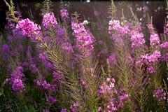 Верб-трава Стоковые Изображения