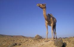 Верблюд аравийца или дромадера, dromedarius Camelus Стоковые Изображения RF