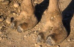 Верблюд аравийца или дромадера, dromedarius Camelus Стоковая Фотография