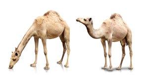 2 верблюда в белой предпосылке Стоковые Фото