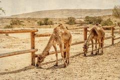 2 верблюда в загоне для верблюдов Стоковые Изображения