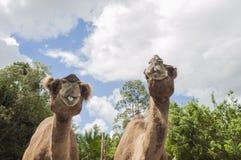 2 верблюда в зоопарке Стоковые Фото
