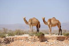 2 верблюда в прерии острова Сокотры, Йемена Стоковые Фото