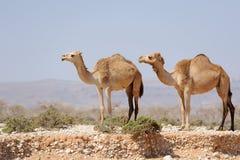 2 верблюда в прерии острова Сокотры, Йемена Стоковое Фото