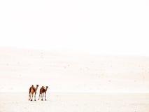 2 верблюда в светлом тоновом изображении Стоковые Изображения