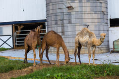 3 верблюда в Lancaster County Стоковое Фото