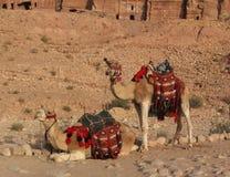 2 верблюда в Petra Стоковое Фото