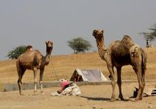 2 верблюда в Pushkar Стоковая Фотография RF