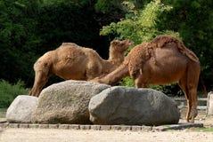 2 верблюда напротив и за валунов утеса в зоопарке Берлина в Германии Стоковое фото RF