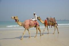 2 верблюда на пляже в Дубай Стоковые Фотографии RF