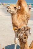 2 верблюда на пляже Стоковое фото RF