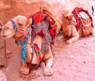 2 верблюда на Petra, Джордан Стоковое Изображение RF
