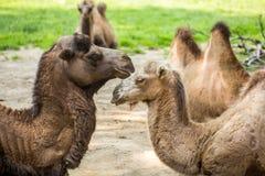 2 верблюда падая в влюбленность Стоковая Фотография RF