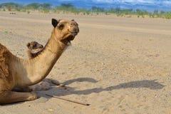 2 верблюда смотря к расстоянию Стоковое фото RF