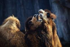 2 верблюда Стоковая Фотография