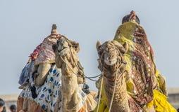 2 верблюд близкое поднимающее вверх Kutch Стоковое Изображение