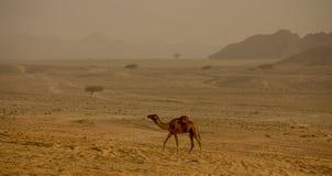 Верблюд в аравийской пустыне Стоковое Изображение RF