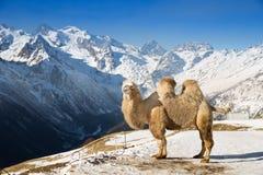 Верблюд в горах Стоковая Фотография