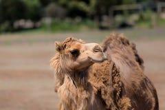 Верблюд в захолустье Австралии Стоковое фото RF