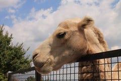 Верблюд в зверинце стоковое фото rf