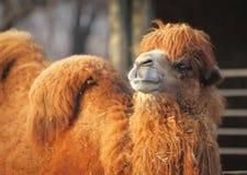 Верблюд в зоопарке Стоковая Фотография