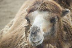 Верблюд в зоопарке Стоковые Фотографии RF