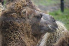 Верблюд в зоопарке Стоковое Изображение