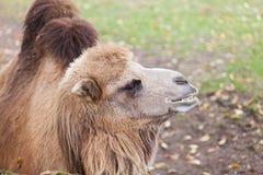 Верблюд в зоопарке Стоковое Изображение RF