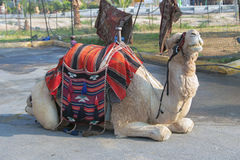 Верблюд в Израиле Стоковое фото RF