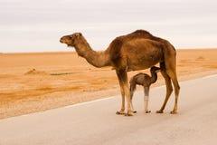 Верблюд в дороге Стоковое Изображение RF