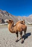 Верблюд в долине Nubra, Ladakh стоковые изображения rf