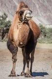 Верблюд в долине Nubra, Ladakh стоковое фото rf