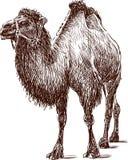 Верблюд в проводке Стоковая Фотография RF