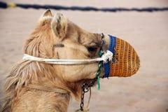 Верблюд в пустыне стоковая фотография
