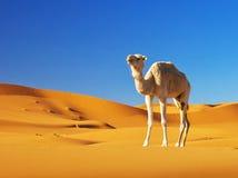 Верблюд в пустыне Стоковая Фотография RF