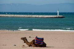 верблюд в пляже Стоковые Фотографии RF