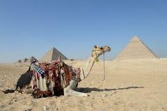 Верблюд в термин Стоковые Фотографии RF