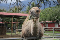 Верблюд в ферме туризма Стоковые Фотографии RF