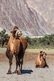 Верблюд в Nubra vally, Ladakh стоковые фотографии rf