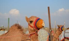 Верблюд гонок в его покрашенном наморднике Стоковое Изображение