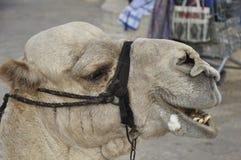 верблюд Иерусалим Стоковое Изображение