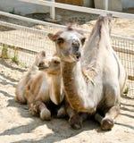 Верблюд и ее младенец Стоковое Изображение